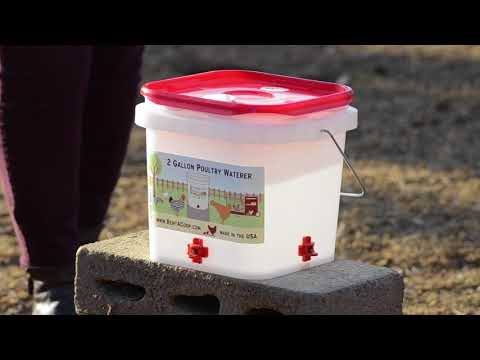 Training Your Chicken To Use Their New Waterer