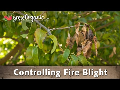 How to Treat & Prevent Fire Blight in Your Organic Orchard