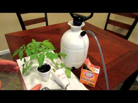 TRG 2012: How to Organically Treat Powdery Mildew on Vegetables and Tomatoes Using Baking Soda