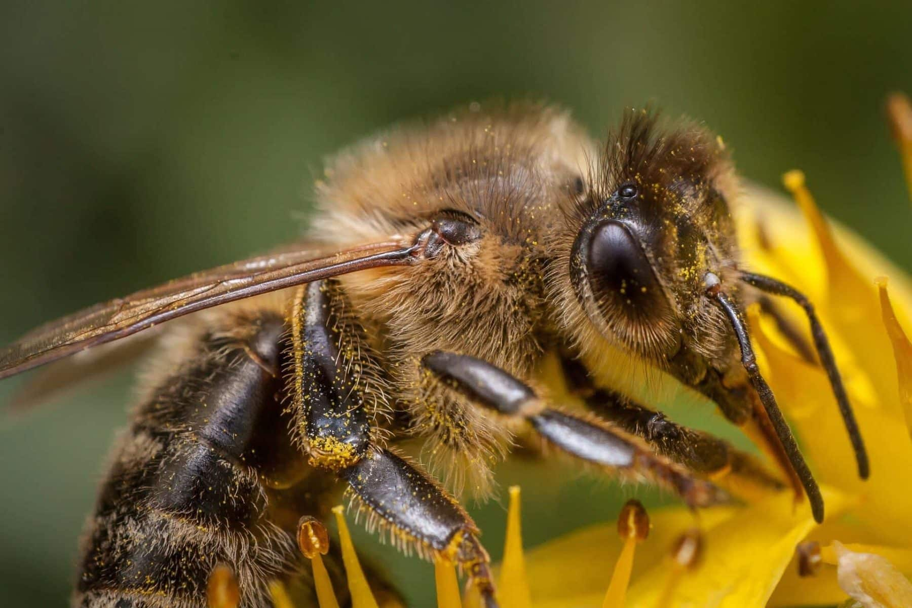 Bees Biology Important Facts (Origin and Social Classes...) 2
