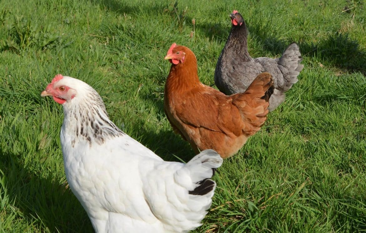 The Guide for Choosing The Chicken Breed Based on your Goals