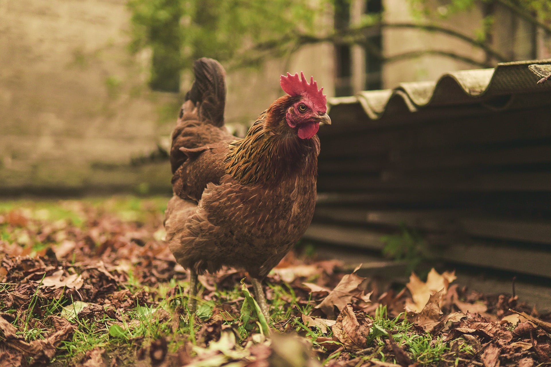 Top 5 Advantages of BackYard Chickens Raising