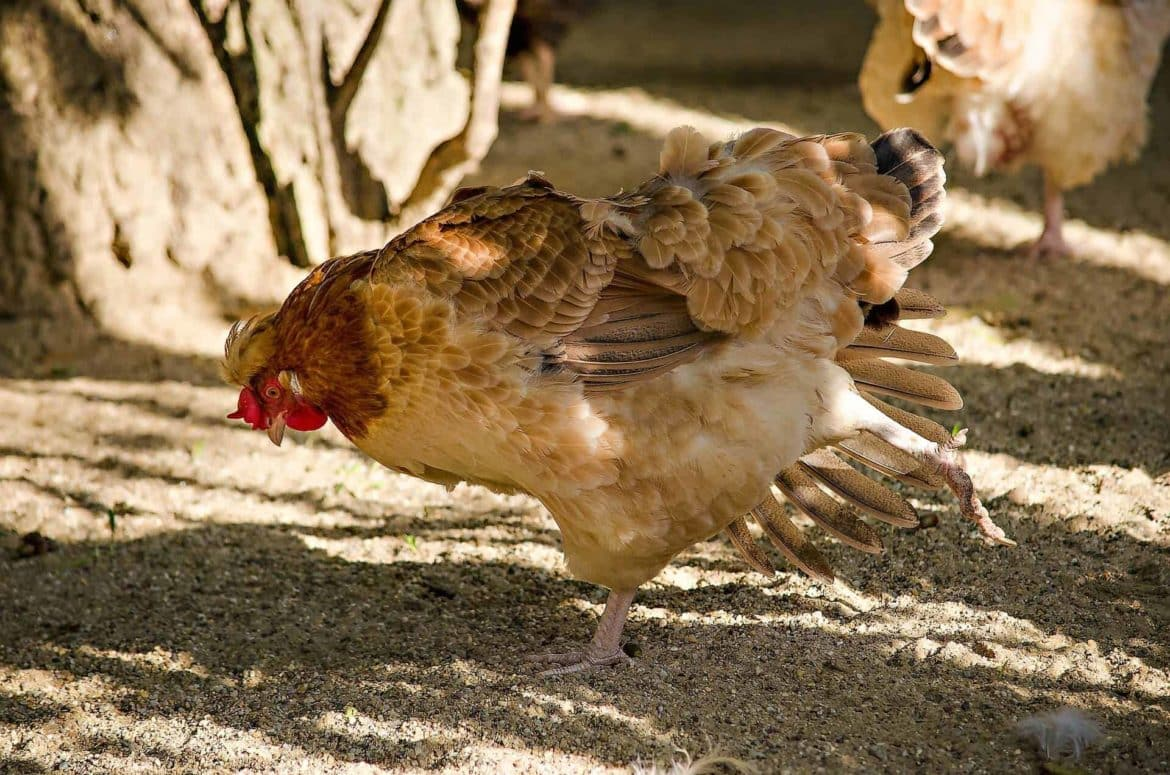 All About Backyard Chickens Salmonella: Infections & Precautions 1