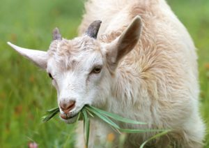 Goat Care : The Beginner Guide to Goat Care 1