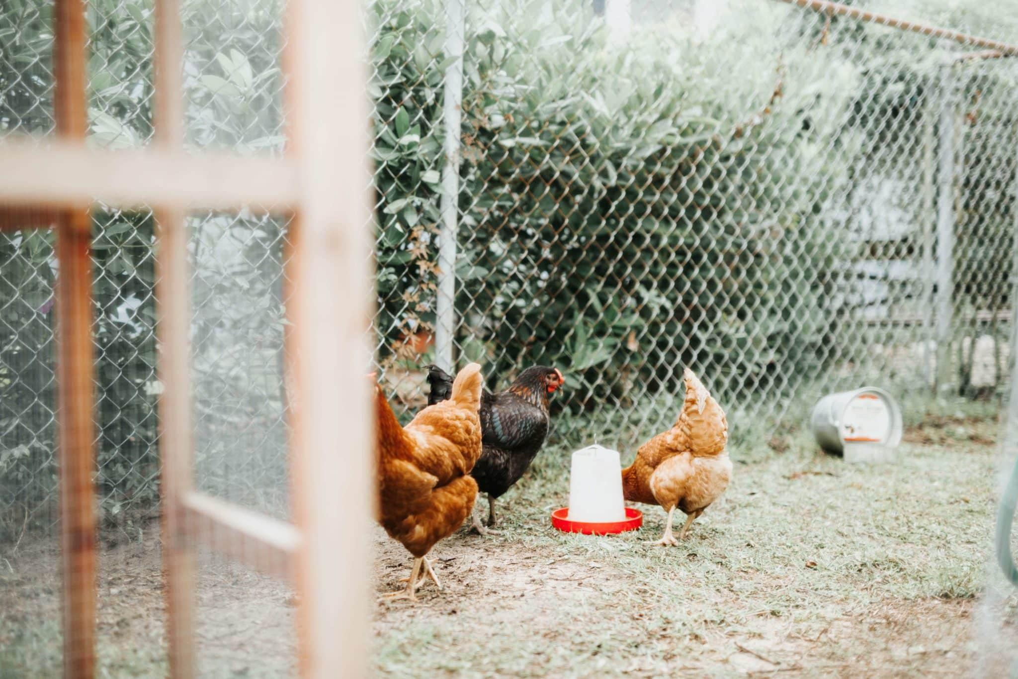 The Best Automatic Chicken Feeders; Chicken Waterers - Chicken Keeping Secrets