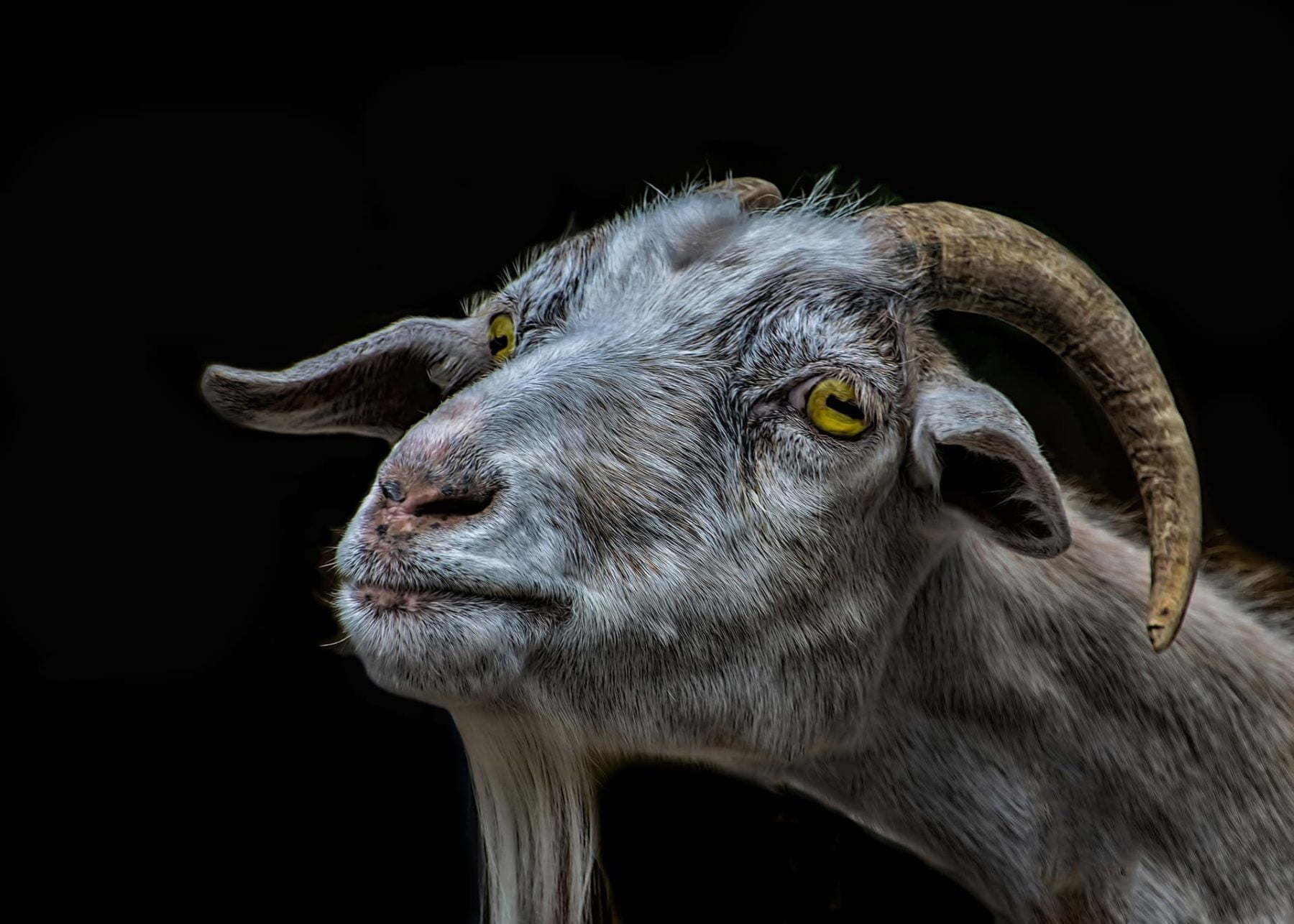 The Most common Goats Condition and Illness & How to take care of them