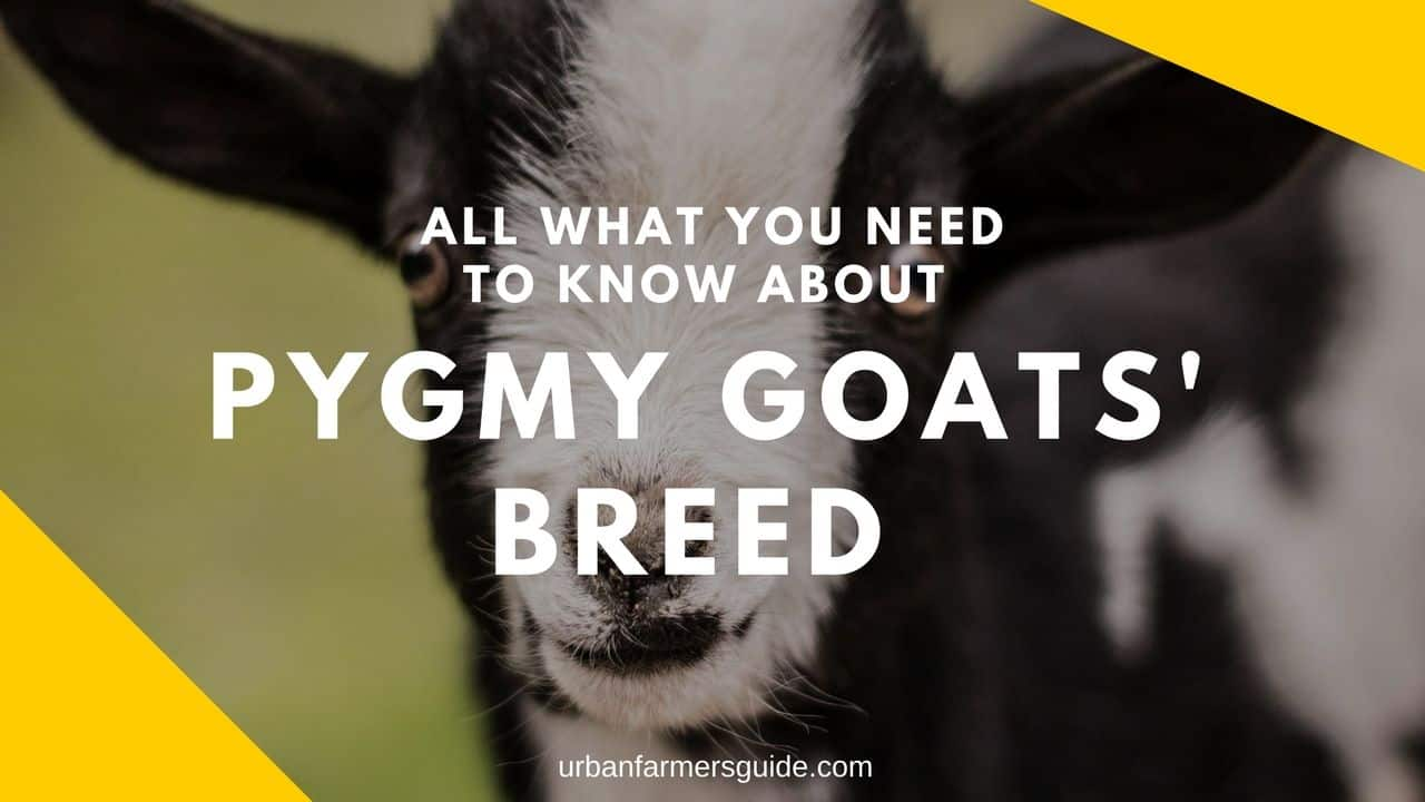 All what you need to know about Pygmy Goats