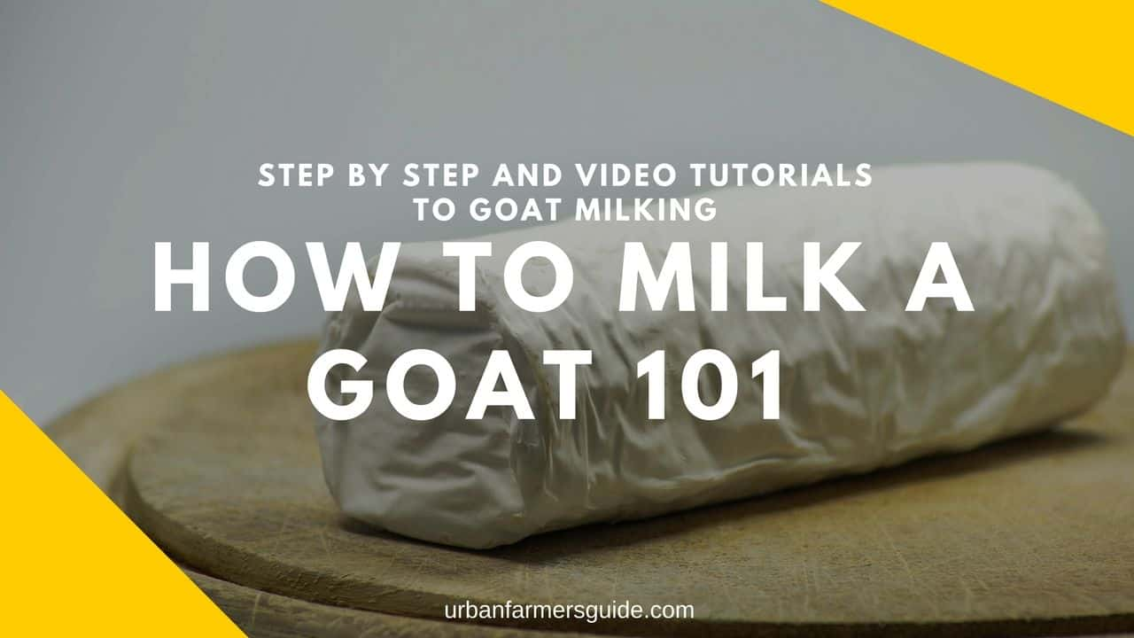 HOW TO MILK A GOAT 101