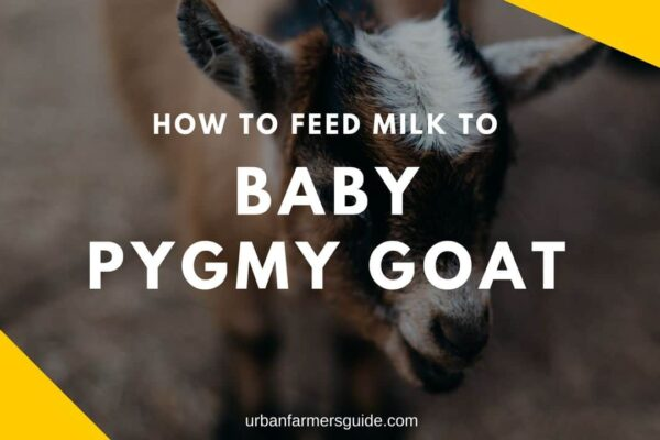 How To Feed Milk To Baby Pygmy Goat