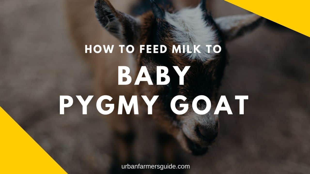 how to get a goat to produce milk
