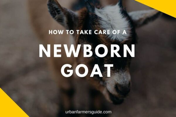 How To Take Care Of A Newborn Goat