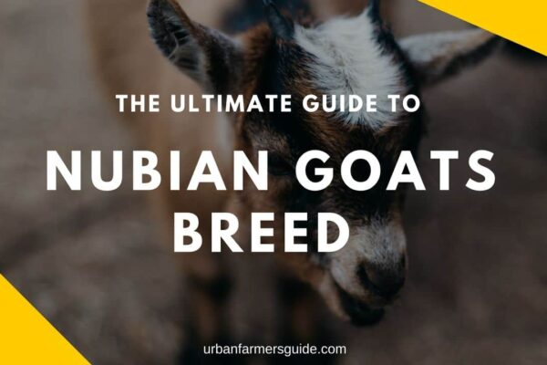 The ultimate Guide to NUBIAN GOATS BREED