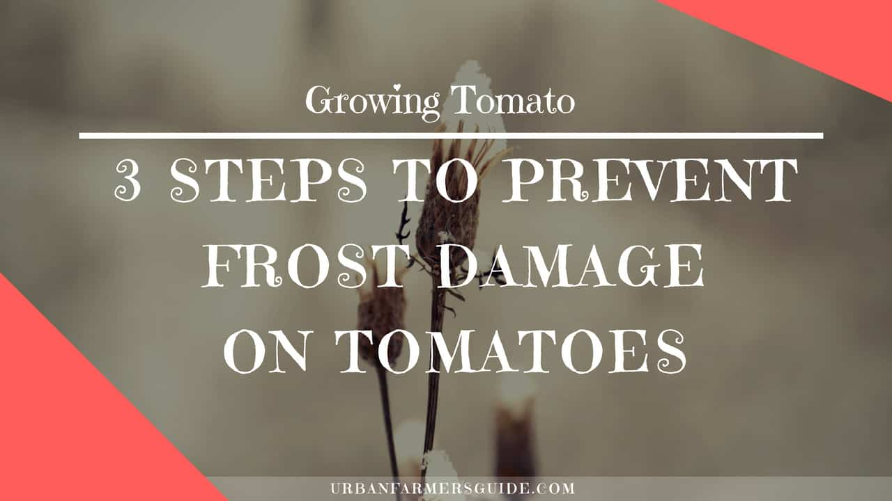 3 Steps to Prevent Frost Damage on Tomatoes