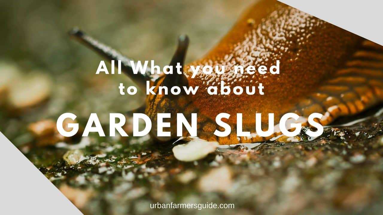 All What you need to know about Garden Slugs