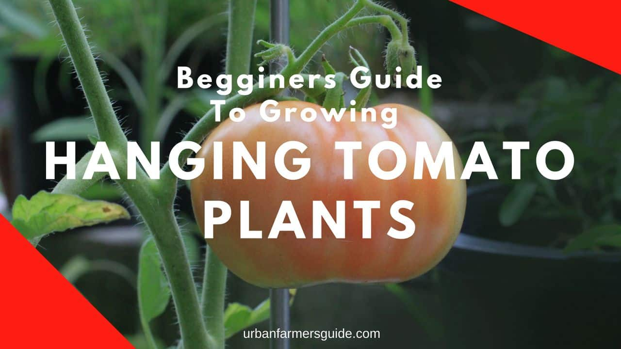 Begginers Guide To Growing Hanging Tomato Plants