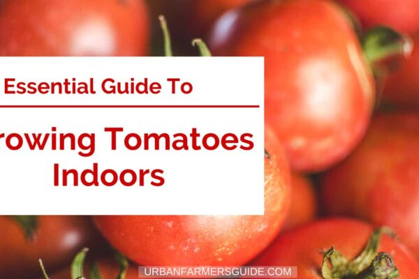 How You can grow Tomatoes Indoors _ (1) The Beginner Guide To Growing Tomatoes Indoors (Garden..)