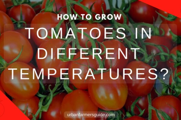 How to Grow Tomatoes in Different How to Grow Temperatures