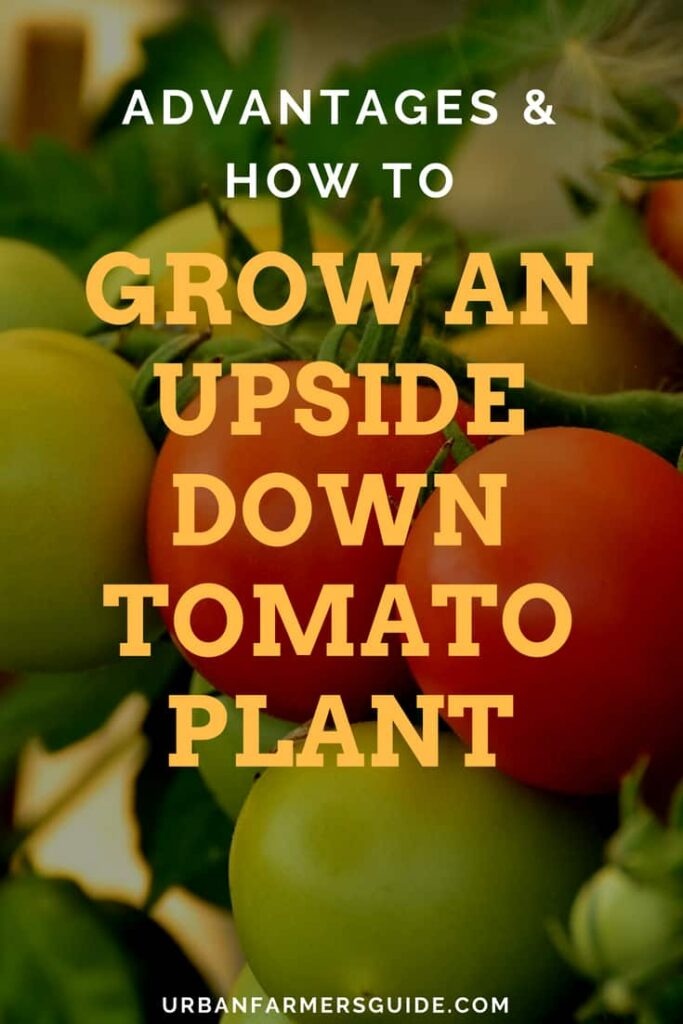 How to Grow an Upside Down Tomato Plant - (Advantages) Pinterest