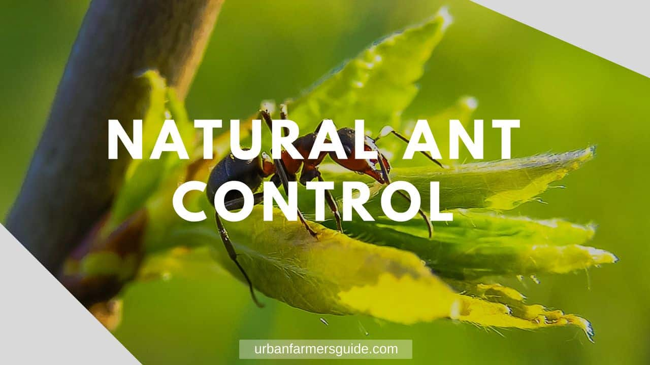 Natural Ant Control