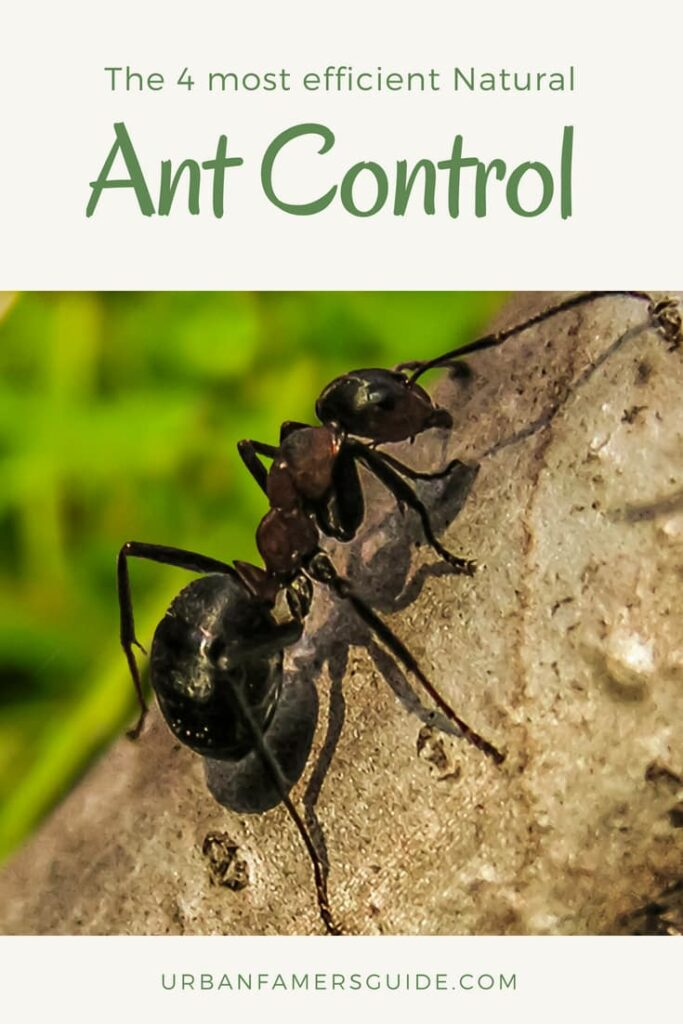 The 4 most efficient Natural Ant Control Pinterest