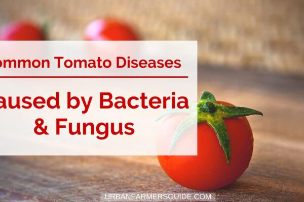The Common Tomatoe Diseases Caused by Bacteria & Fungus