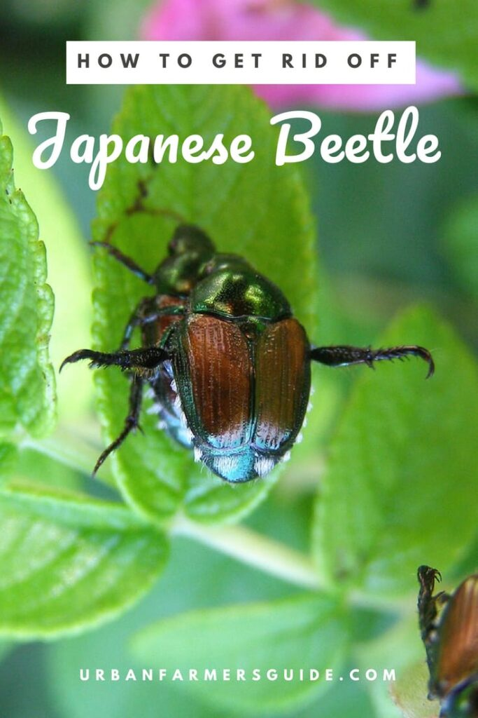 The Different Methods for Japanese Beetle Control Pinterest
