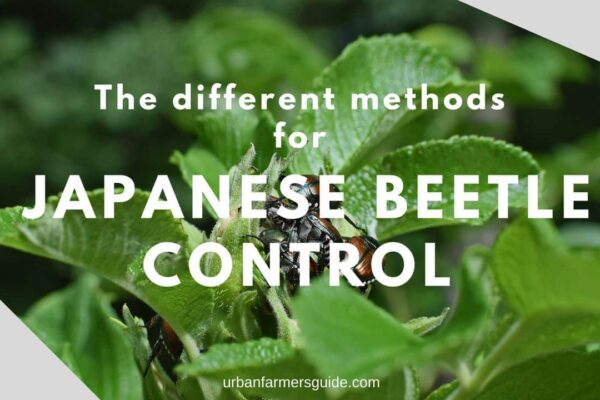 The Different Methods for Japanese Beetle Control