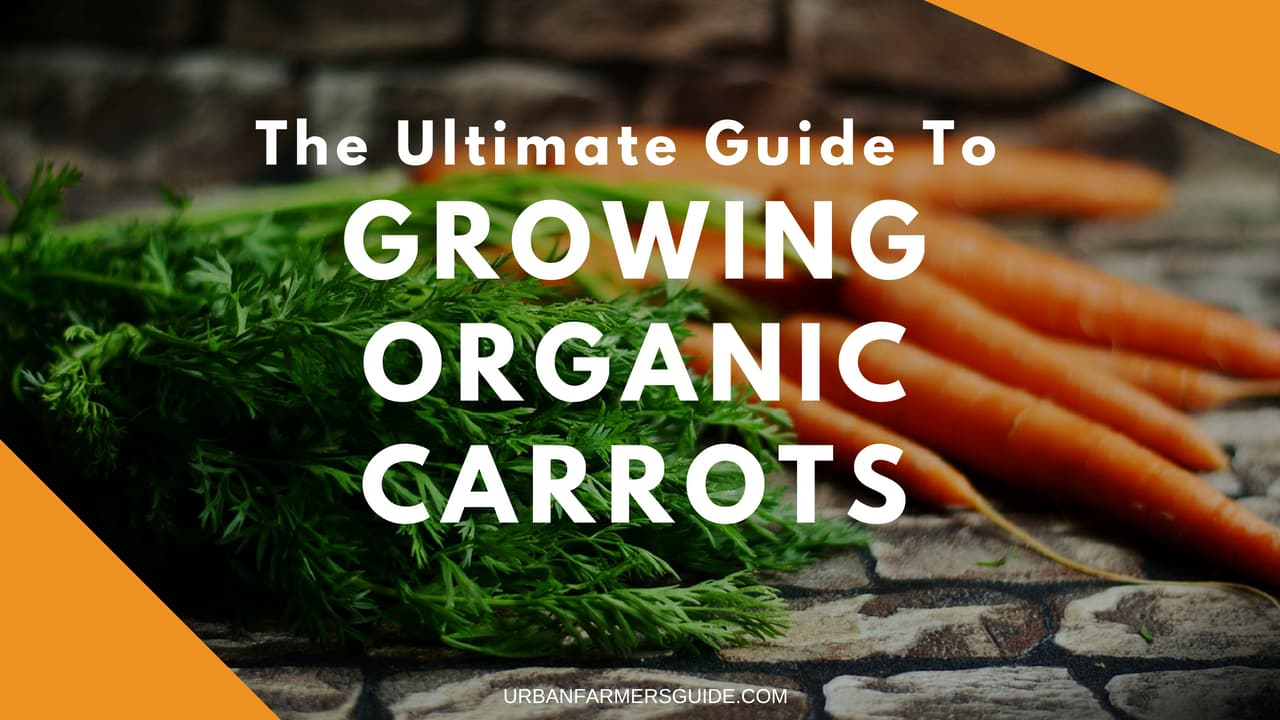 The Ultimate Guide To Growing Organic Carrots