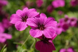 Beginner Guide to Growing Edible Flower Geraniums - Easy-To-Grow Edible