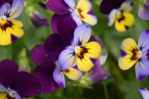 Beginner Guide to Growing Edible Flowers Pansies