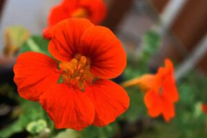 Beginning Guide Growing Edible Flowers Nasturtium