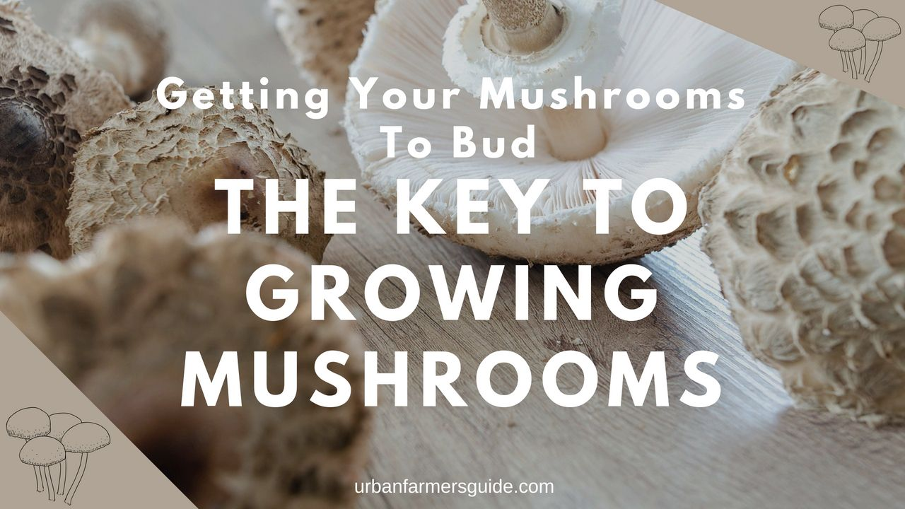 Getting Your Mushrooms To Bud The Key To Growing Mushrooms