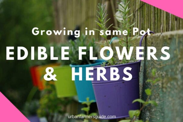 Growing Edible Flowers and Herbs in the Same Pot