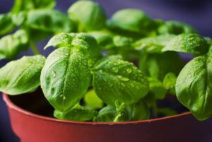 Herbs to Grow in Your Spring Garden Basil