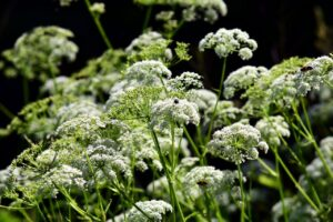 Herbs to Grow in Your Spring Garden Chervil