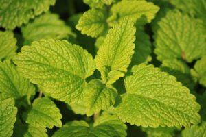 Herbs to Grow in Your Spring Garden Lemon Balm