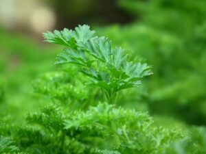 Herbs to Grow in Your Spring Garden Parsley