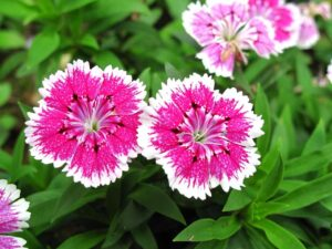 How to Grow Edible Flower Pinks or Dianthus