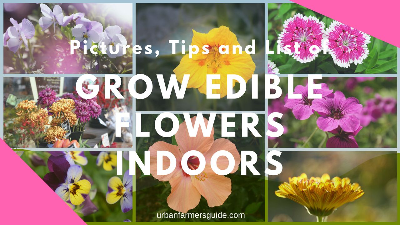 List of Edible Flowers You Can Grow Indoors with Pictures