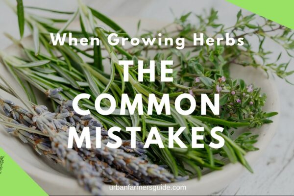 The Common Mistakes When Growing Herbs