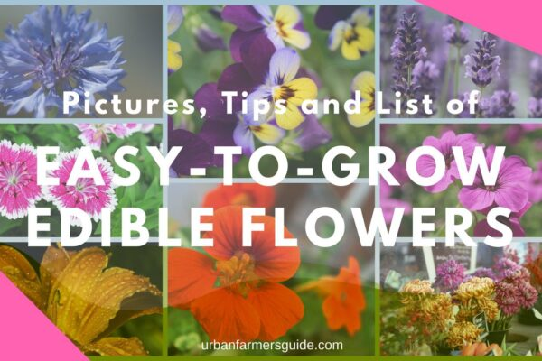 The main list of Easy-To-Grow Edible Flowers with Pictures 1