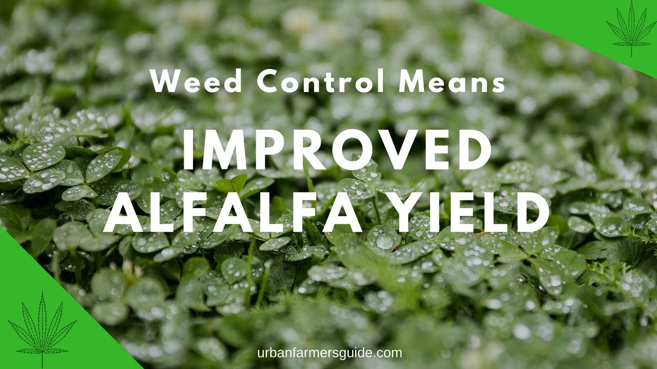 Weed Control Means Improved Alfalfa Yield And Higher-Quality Hay