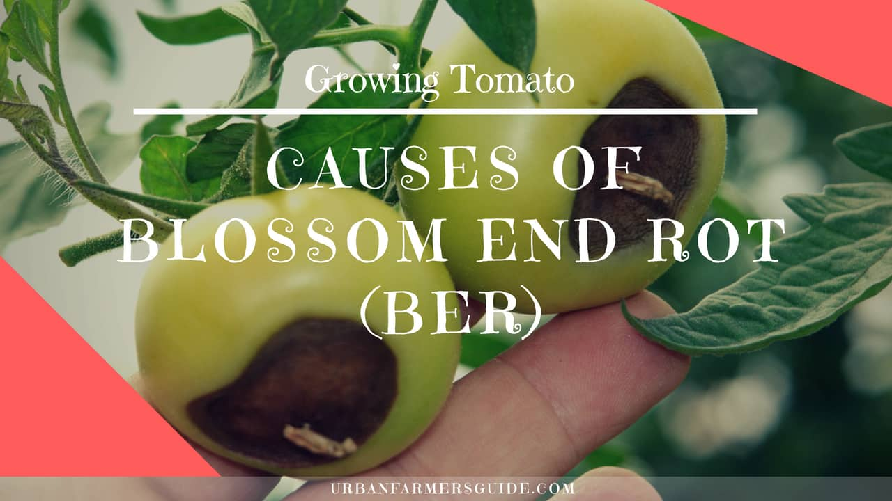 Causes of Blossom End Rot (BER)