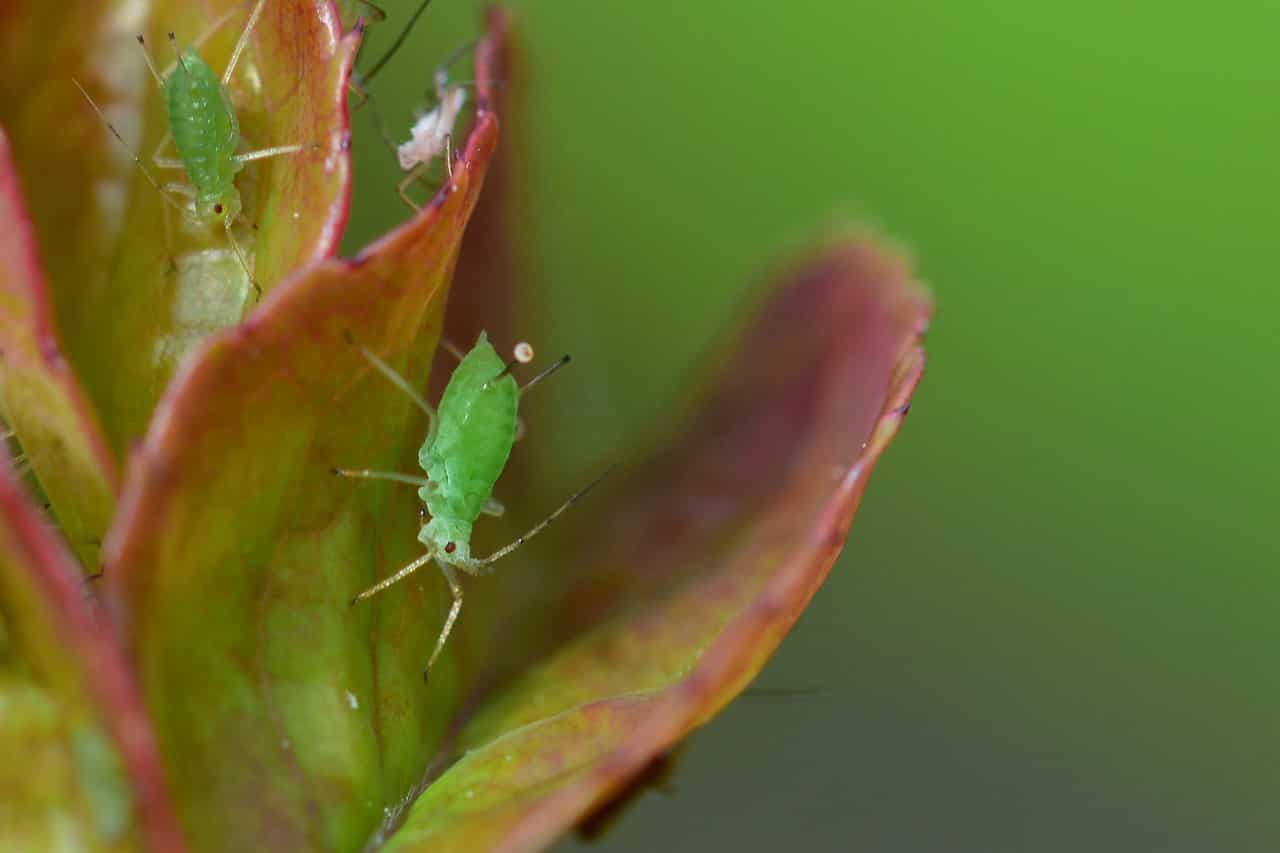 Natural Aphid Control